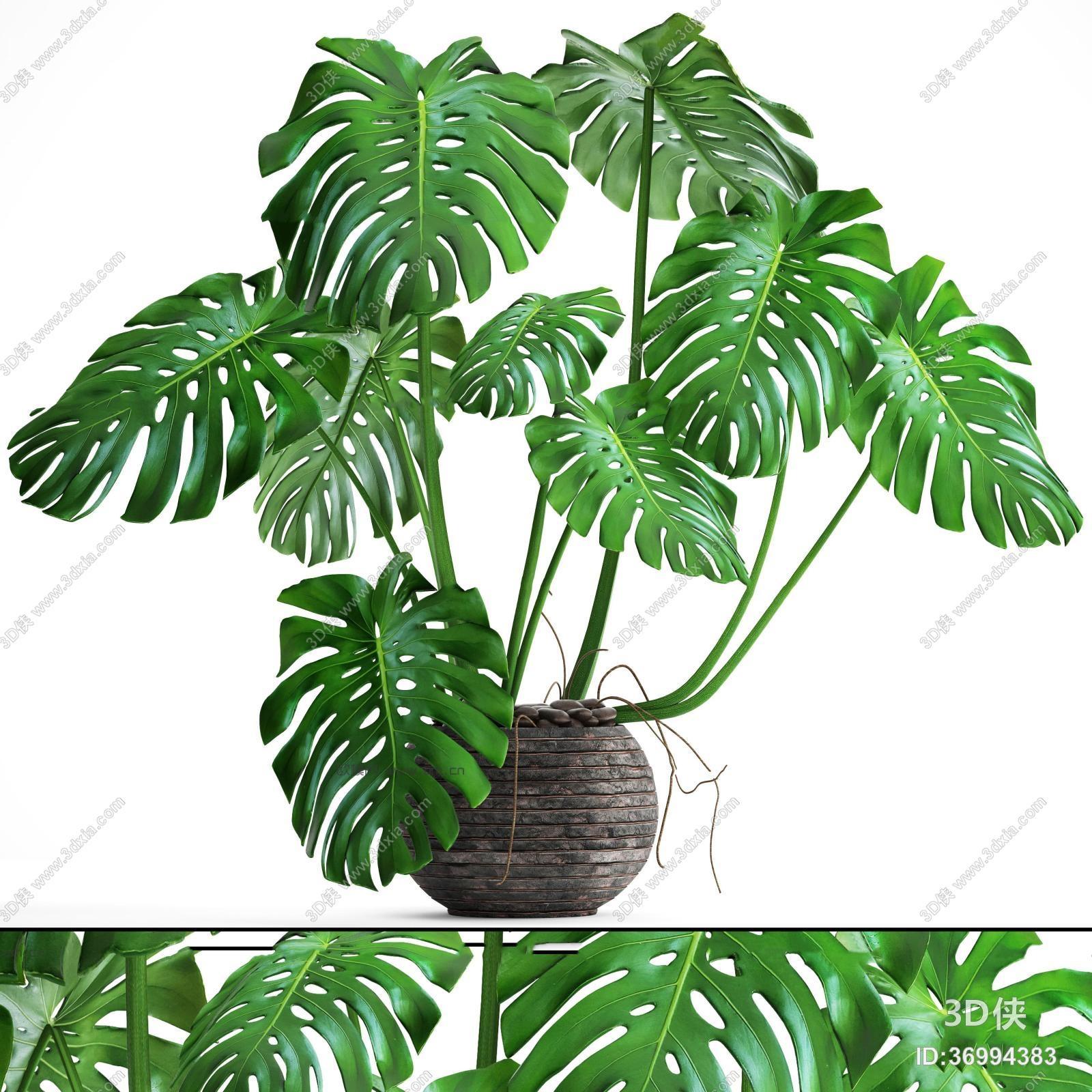 盆栽效果图素材免费下载,本作品主题是现代龟背竹盆栽3d模型,编号是36