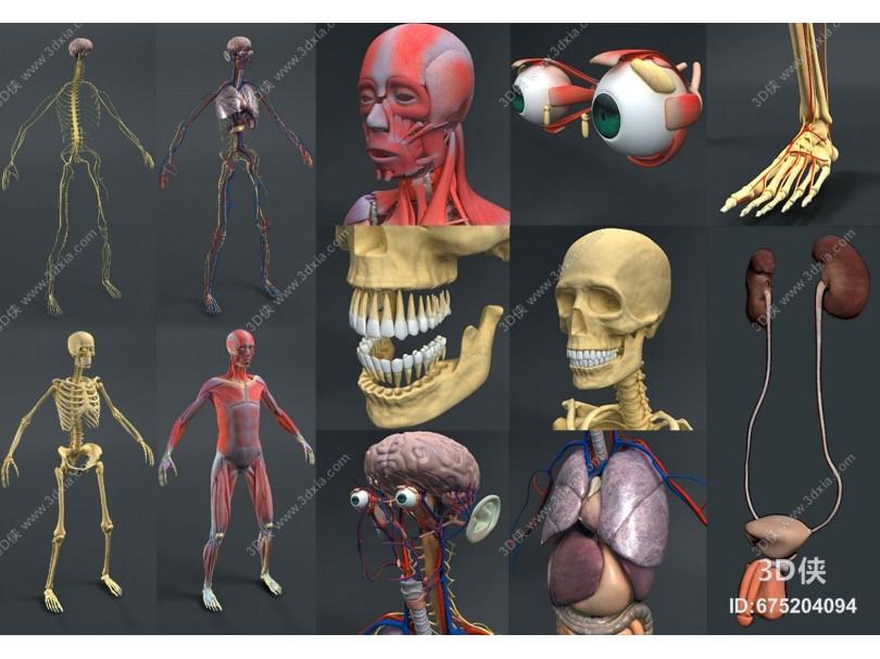 现代男性人体解剖 组织器官