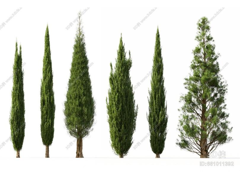 现代风格树 柏树
