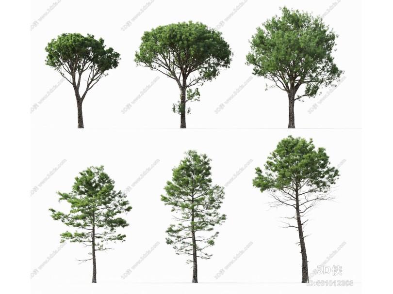 现代风格树 海岸松